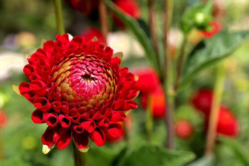 Dahlia flower need to be kept weed free. Use organic mulch around the plants to prevent weeds and conserve moisture.