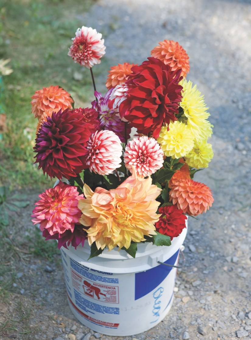 Dahlia flower are a lovely plant that can come in a variety of colors, sizes, and shapes. They range in color from pink and red to orange and yellow.