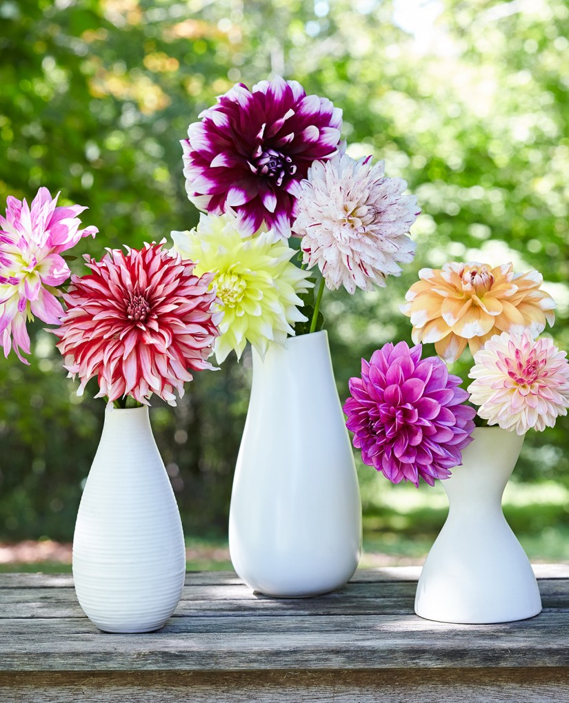 In order to maximize their relatively short 3 to 4 day vase life, warm or hot tap water is ideal for dahlia flower.