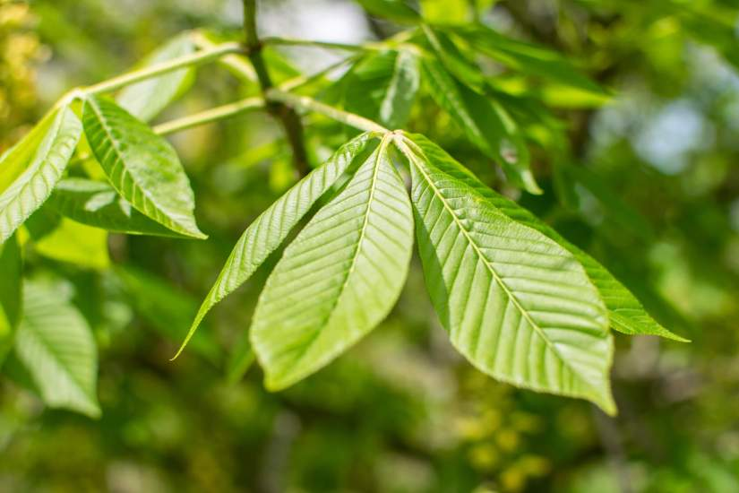 The leaves of Ohio buckeye are palmately compound with five to seven leaflets. The leaflets are up to 15 cm (5.9 in) long. The petiole is long. The leaf margin of the leaflets is toothed.