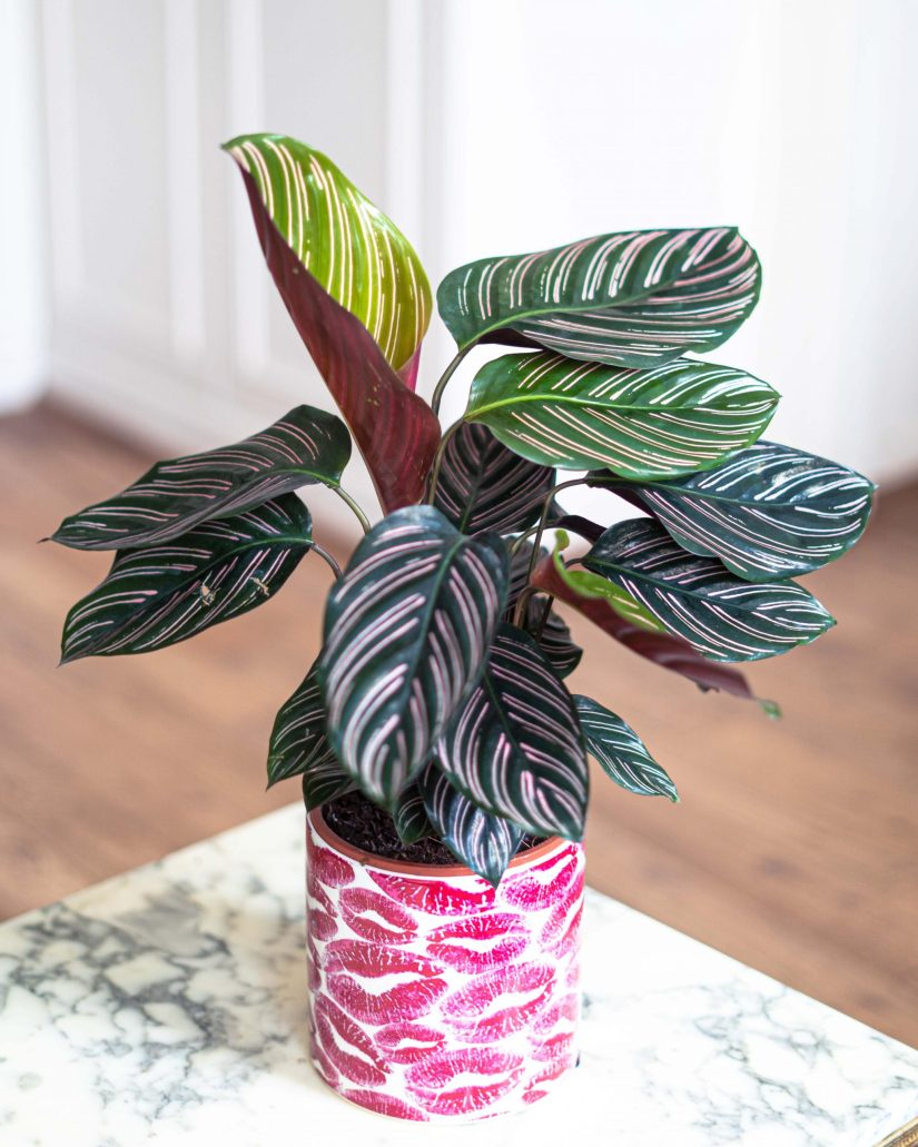 Pinstripe calathea is a striking member of the Maranta or prayer plant family. Their beautifully veined leaves make a striking statement in your home.