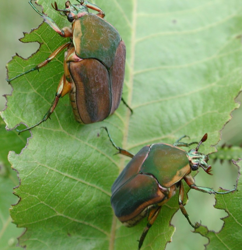 June beetle damage to turf can be so severe if their populations are high that the turfgrass can be rolled away from the ground similar to the way one would roll up a carpet or rug.