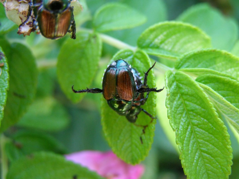 To attract and effectively drown June bugs, pour one-half cup of molasses into an empty milk jug or large jar, add one-half cup of hot water, then cover and shake well.