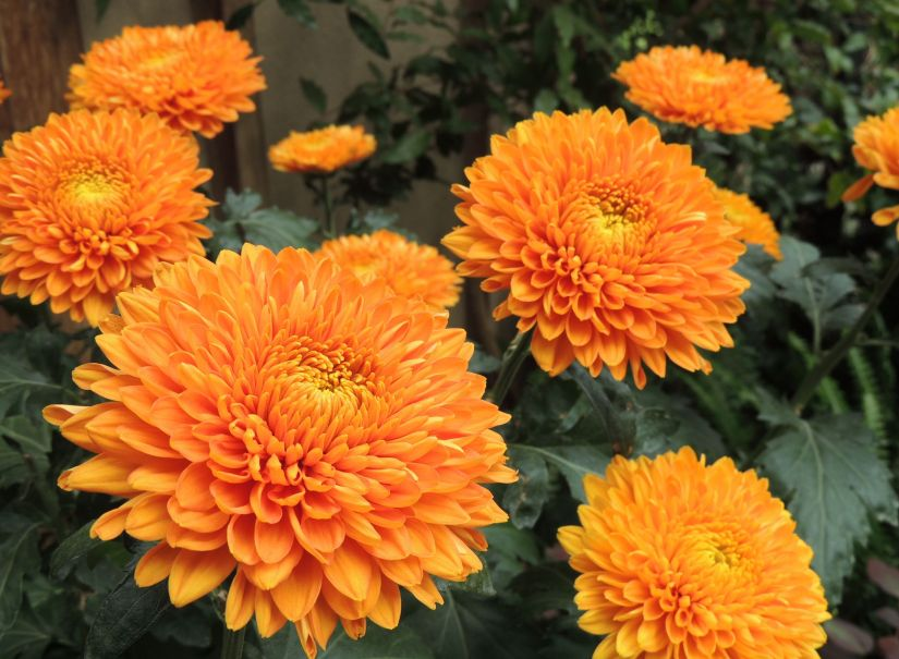 Decorative Mums have blossoms that appear almost flattened on top. The petals are shorter than many other types of chrysanthemums, and curve inward.