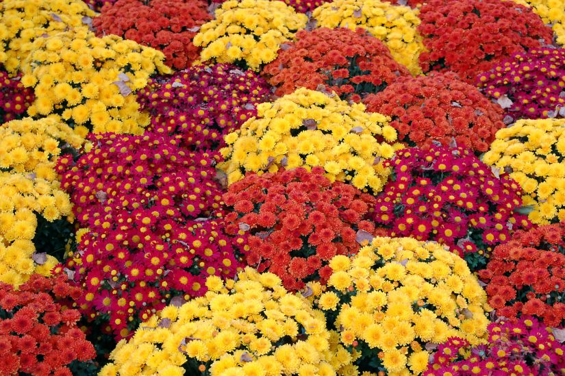 Chrysanthemums offer colorful flowers throughout the fall in a wide range of hues and flower types.
