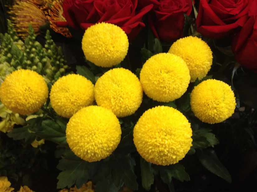 Pompom chrysanthemums, also commonly called button mums, produce masses of small, round blooms in a variety of different colors. Poms are also called spray mums, having a spray flower growth means clusters of flowers grow from a single stem in a rising forest of blooms.