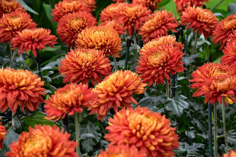 As the name suggests, these are mums that do not fit neatly in any other category.