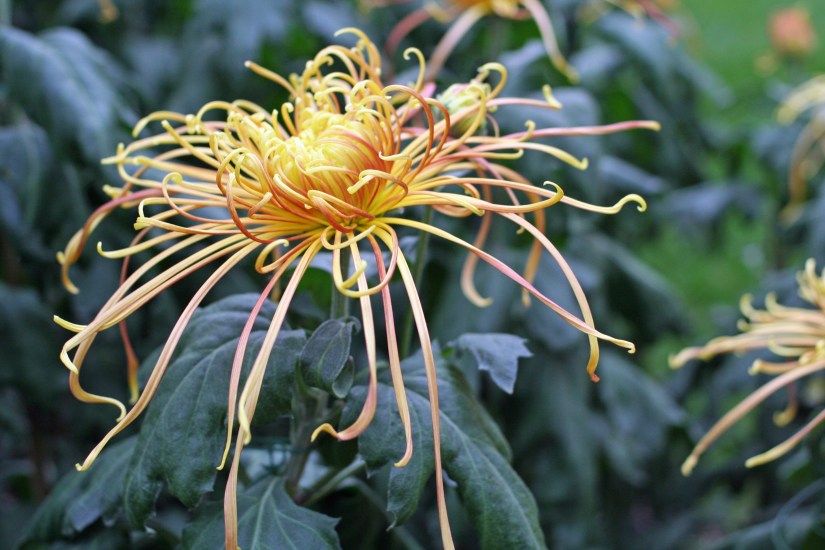 Spider mums, a type of chrysanthemum, have distinctive flowers that are often used in floral arrangements and can be grown in pots for easy display indoors.