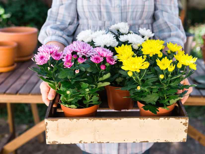 Keep chrysanthemum houseplants where they can receive good air circulation and avoid excess humidity.