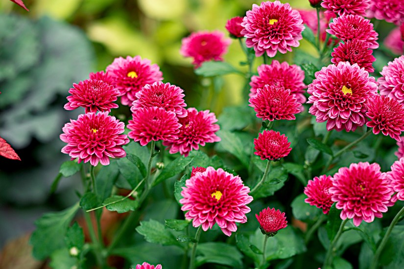 Hardy perennial unlike some other Chrysanthemums, comes in many colors and looks beautiful in a mass planting.