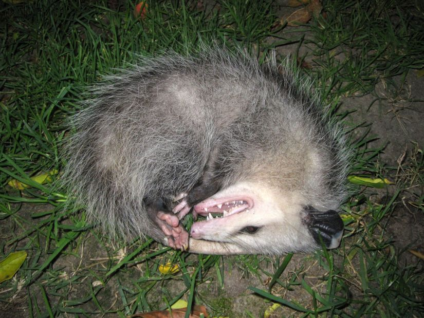 Playing dead is regarded as an instinctive response from an Opossum, as the prospect of facing danger can send the animal into a temporary shock.