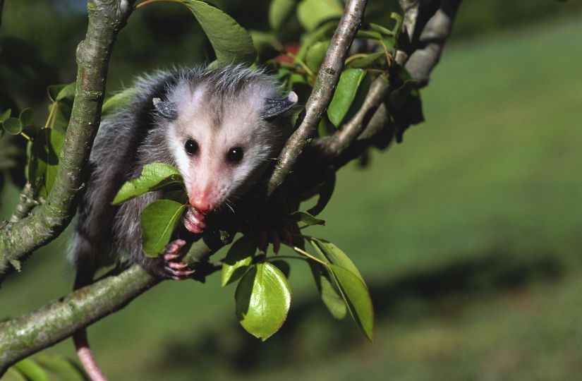 Add this solution to a spray bottle and spray directly on your plants or in areas where you've seen opossums. The pests will avoid both the smell and taste of the mixture.