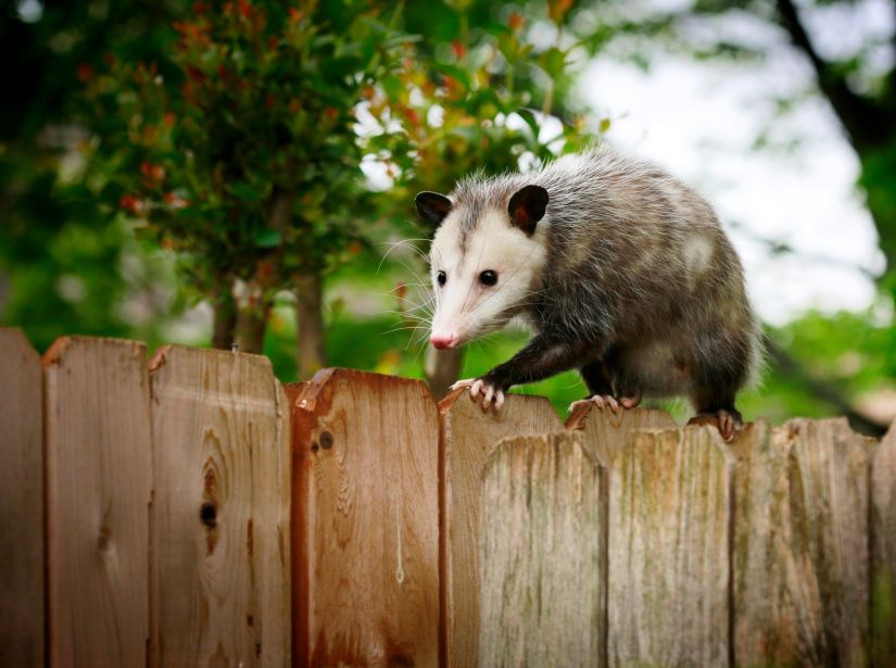 Although opossums are prone to carry parasites and diseases associated with rotten food, the risk of contracting rabies from these misunderstood critters is low. A low body temperature makes rabies extremely rare and even then, opossums are unlikely to attack or even defend themselves from humans or larger animals.
