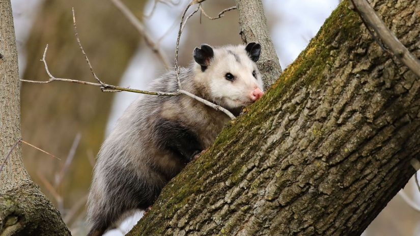 Opossums are omnivores; they eat just about anything including fruits, nuts, grains, insects, slugs, snakes, frogs, birds, eggs, shellfish, mice and carrion.