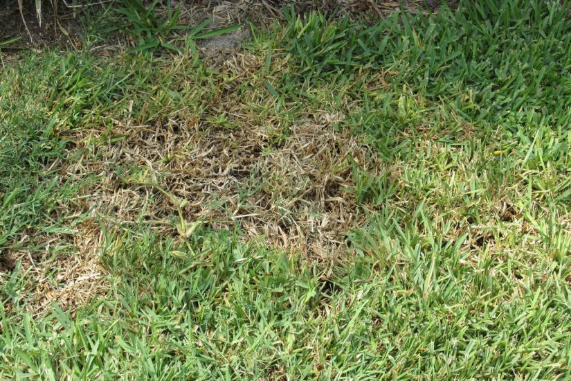 In the early stages of chinch bug damage, grass will begin to yellow. Next, grass will turn brown and die.