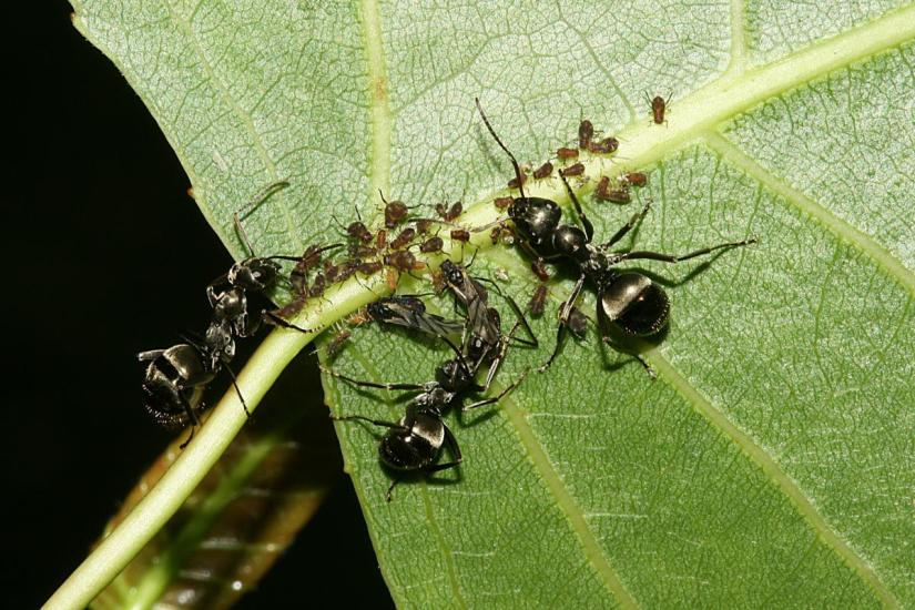 Root aphid nymphs will generally mature in about 9-10 days in a total lifespan lasting approximately 30 days.