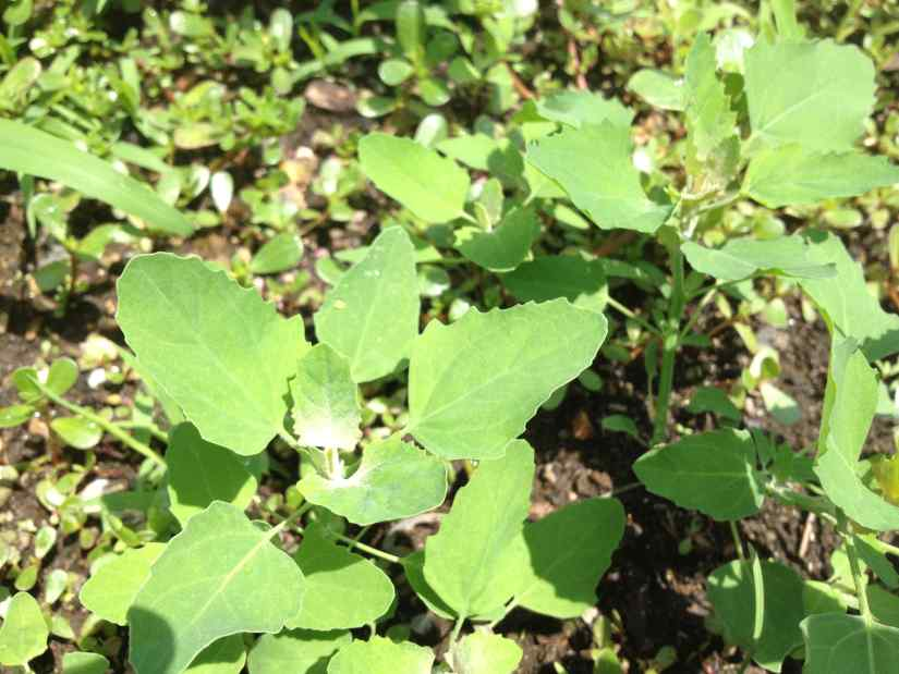Growing lambsquarters from a cutting is an easy process. All you simply need to do is cut a small portion of the plant from a larger portion of lambsquarters from a smaller one and then plant it in the ground to grow it.