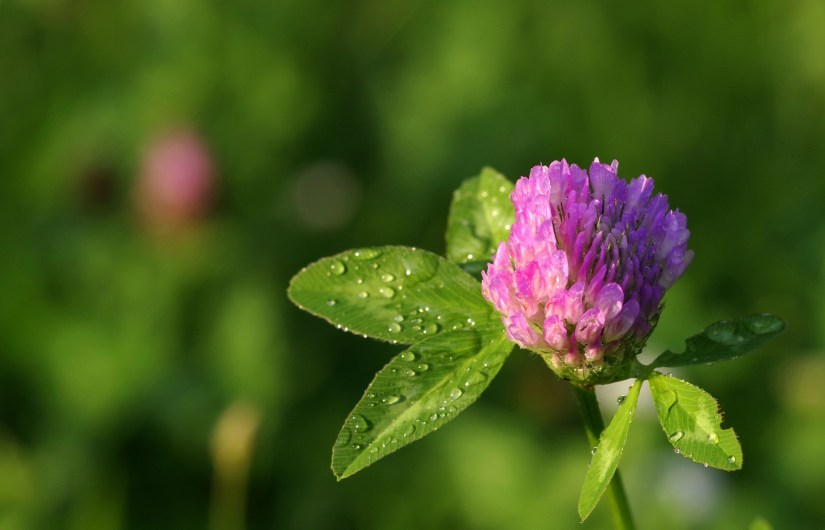 Red clover is a perennial herb that commonly grows wild in meadows throughout Europe and Asia, and has been naturalized to grow in North America.