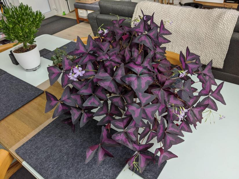 Purple shamrock (Oxalis triangularis), also known as false shamrock, is one of the uncommon plants with nearly black foliage.