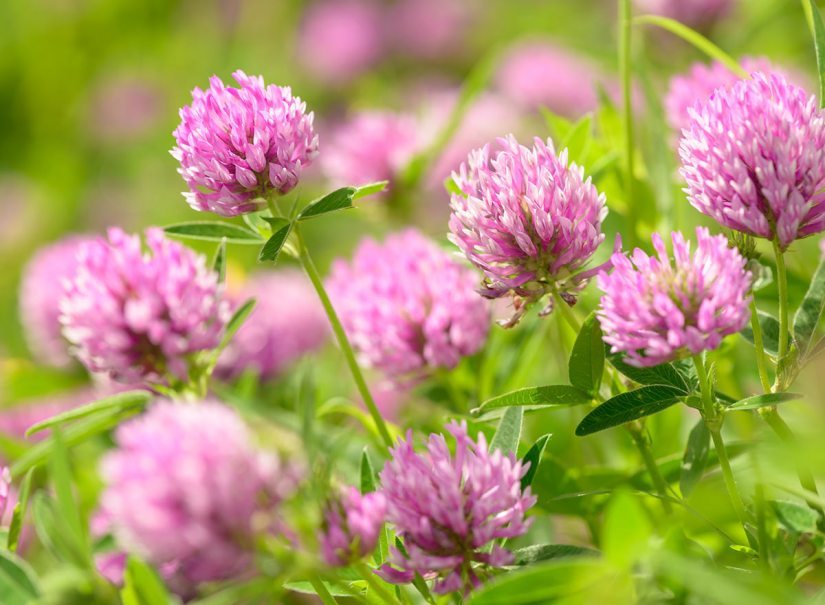 Red clover seeds are the most widely adapted of all the true clovers. Red clover seed produces rose purple or magenta flowers and is sold in bulk.