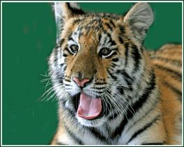 big-cat-habitat-gulf-coast-sanctuary-tiger