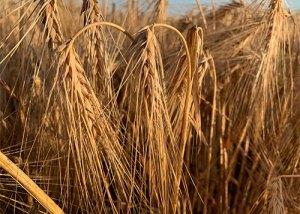 Getreideähren