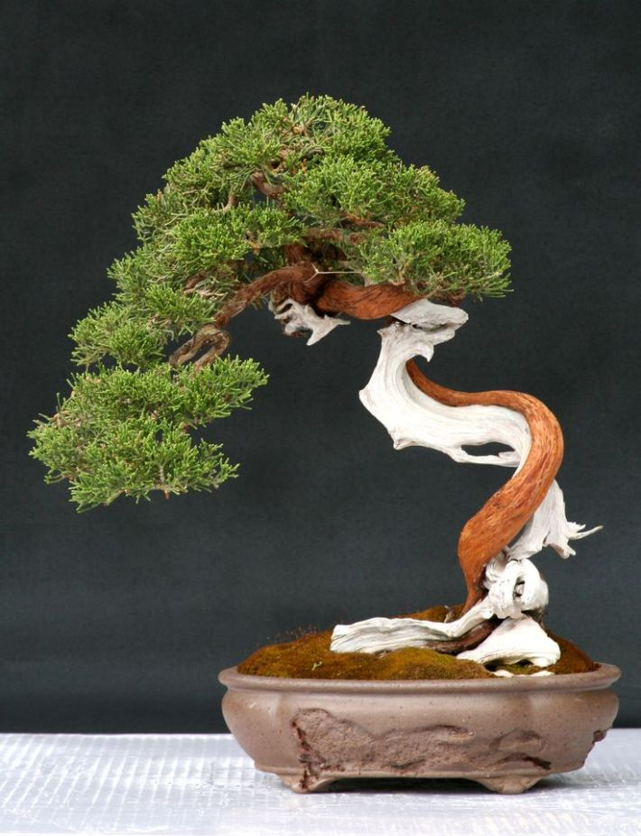 Juniper-Bonsai-GetsMag
