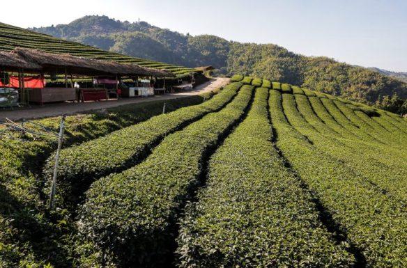 Mae Salong Tea Plantation