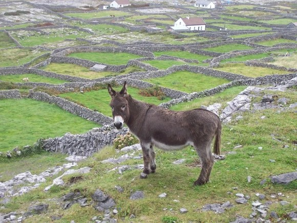 A (very safe) Irish donkey on Inis Meain, from Ireland 2005