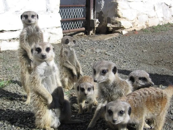 Family of meerkats, South Africa 2006