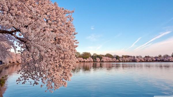 Cherry Blossom Desktop Wallpaper (80+ images)