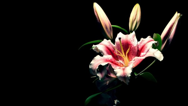 Flowers on Black Background Wallpaper (77+ images)