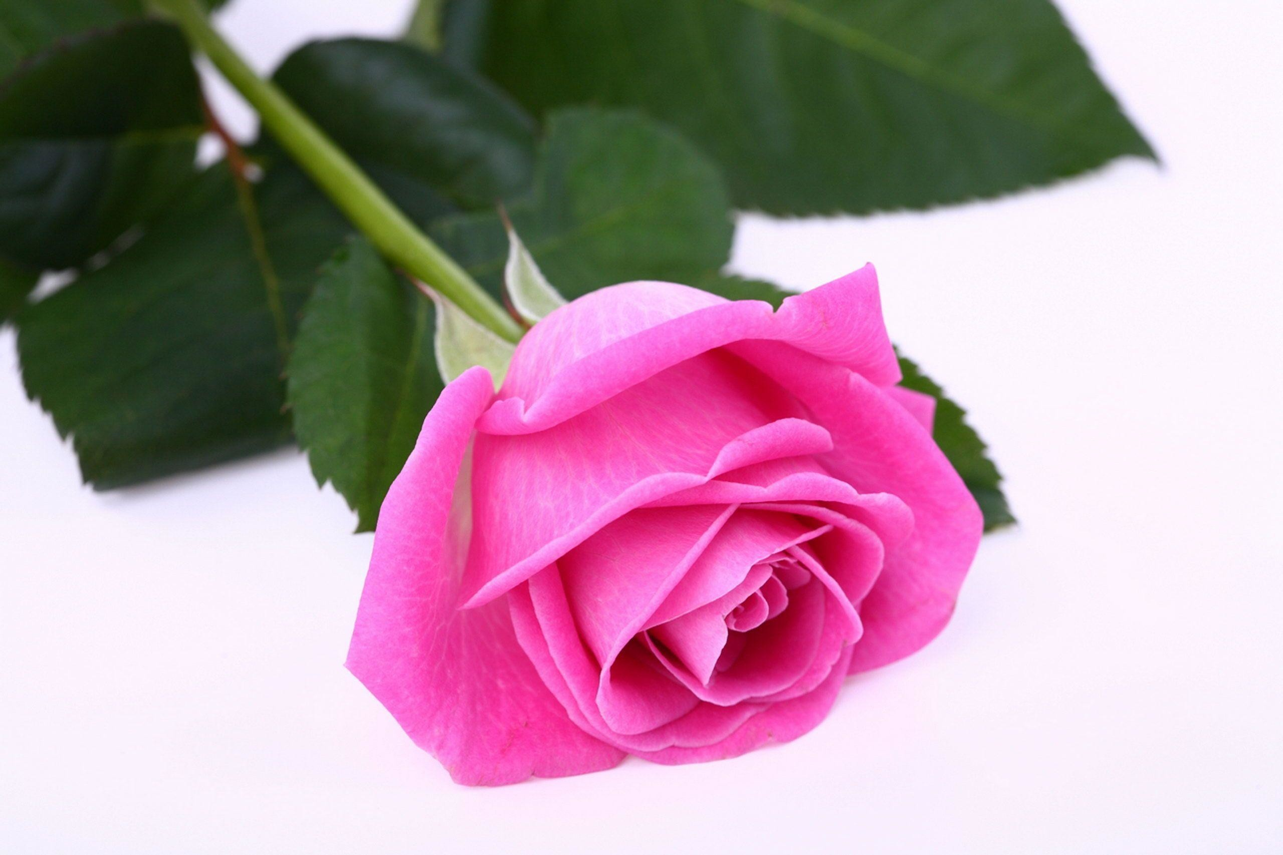 Rose White Background 42 Images