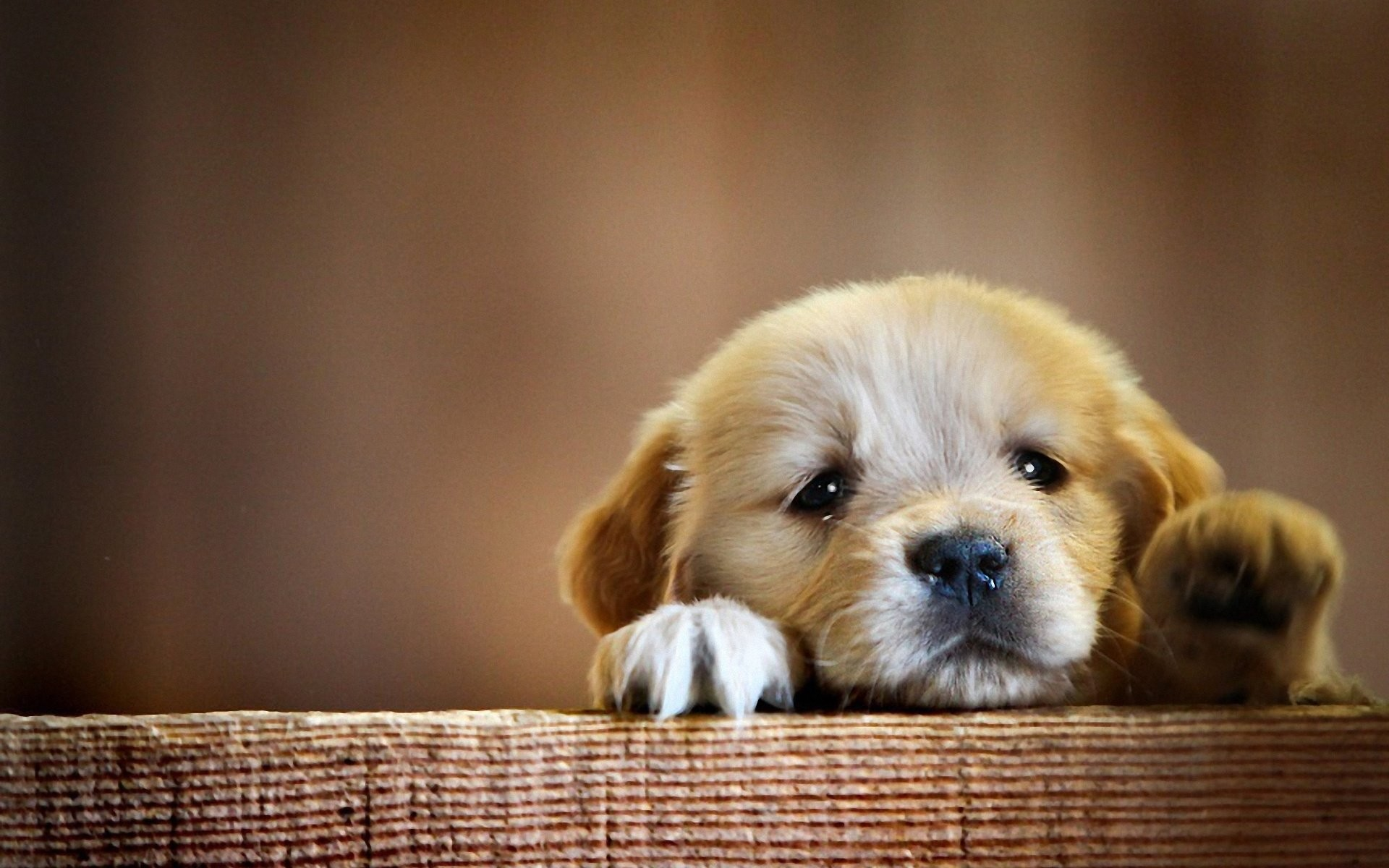 Puppy Wallpaper HD  60  images  1920x1200 HD Wallpaper   Background ID 388815  1920x1200 Animal Puppy