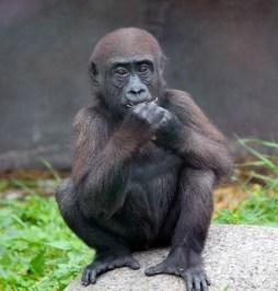 Gorilla 2 (Small)