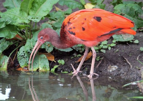 Ibis rood 2 (Small)