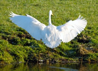 witte-reiger-9-small
