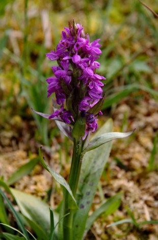 Wilde orchidee 1 (Medium)