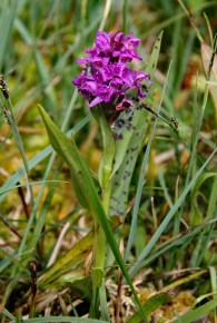 Wilde Orchidee 7 (Medium)