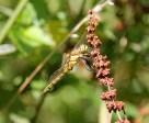 Libelle 2 (Medium)