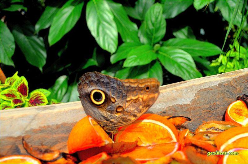 Kelebekler hakkında