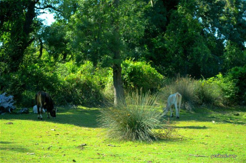 karacabey longozu salma sığırlar