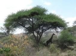 Manyara'da Zirafa Ailesi