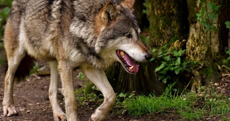 Een wolf in actie