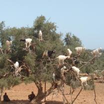 Ziegen auf Bäumen (Weg nach Essaouira)