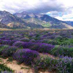 This is the Young Living Lavender fields .
