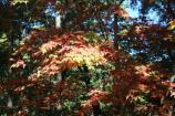 A sun-kissed maple on the Richard Russell Scenic Hwy.