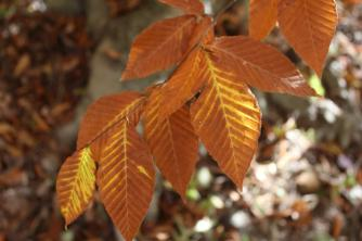 American Beech at Chenocetah Mountain. The green to yellow to brown is normal and not drought related 11-02-2016