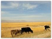 cattlesky