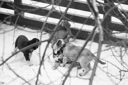 Y los cachorros, pues peleándose sobre la nieve. Hoy estaba granizando y ellos en la calle como si nada.